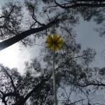 Yam daisy