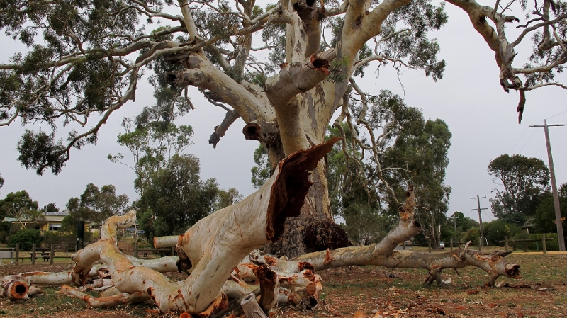 The Guildford Big Tree, March 2015: the tree has lost maybe a quarter of its bulk in one go, but the resultant hollows offer new wildlife opportunities.