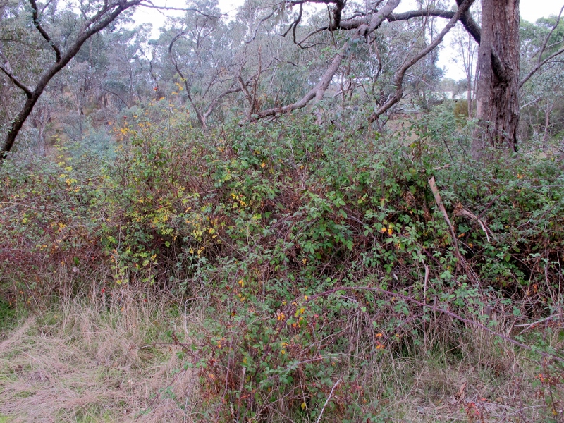 Blackberry and briar rose, Cobblers Gully: the PV Annual Report claims that 40% of Parks' area was 'treated' in one year.