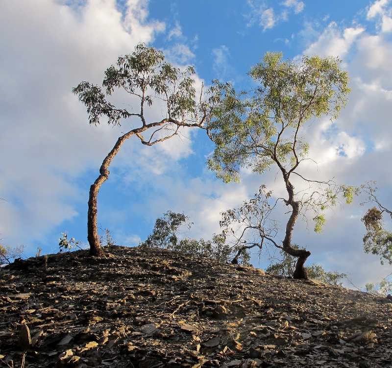 Eucalyptus nortonii [L]and Eucalyptus melliodora [R] on a mullock heap at Spring Gully: vegetation can colonise surprisingly unpromising locations, and mullock heaps are among the more surprising.