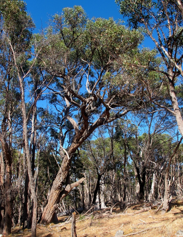 Messmates on Mount Alexander: it's a tree which can vary in size from a small mallee to a forest giant, depending on conditions.