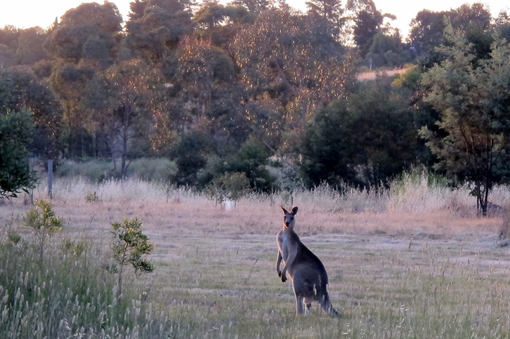 In Happy Valley: are kangaroos like rabbits? Is mountain biking a connection to nature? Should reveg projects move away from 'local provenance' plants?