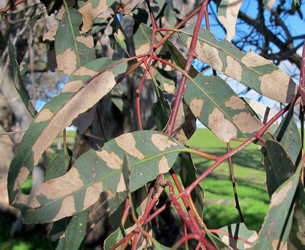 Red gum leaves: trees of this species have been looking stressed for some months throughout the region.