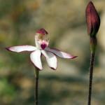 Musky Caladenia
