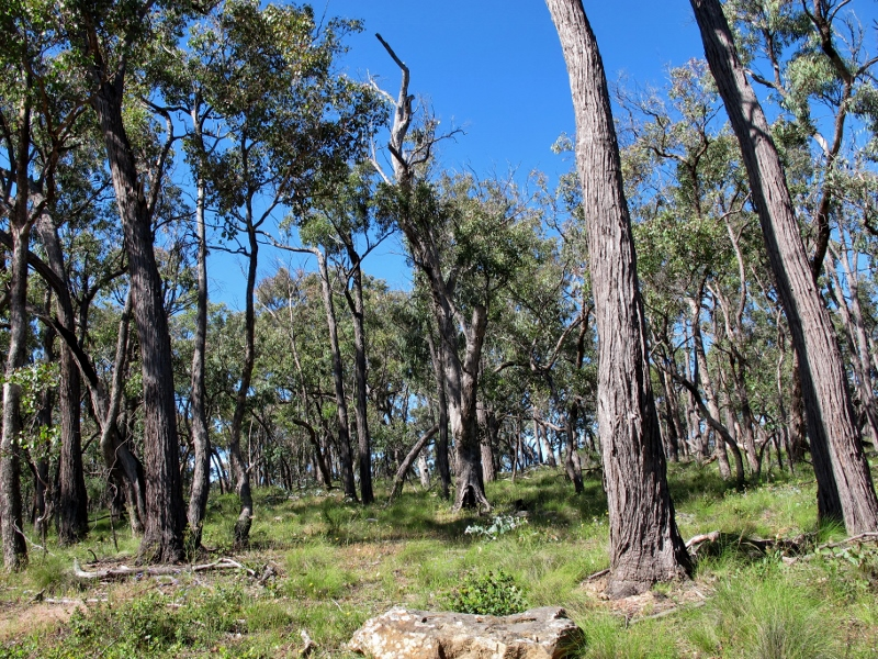 Near Hunters Track, Castlemaine Diggings NHP: the bush in this area is more open than in regrowth forest nearby, and has numerous interesting cultural features.