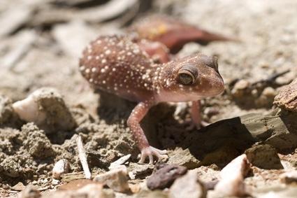 Underwoodisaurus milii, Thick-tailed gecko, Barking gecko UDW7793