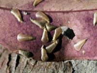 Lerps on eucalyptus sp. leaf LRP7557