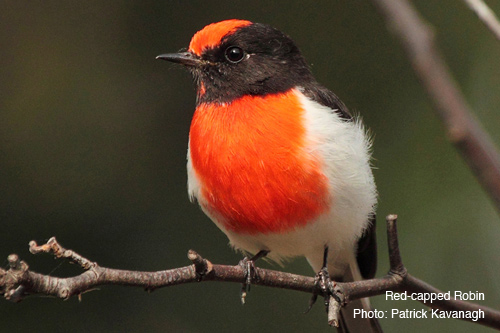 red-capped-robin