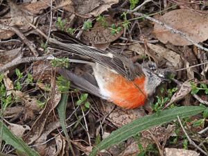 web.fobif-dead-bird
