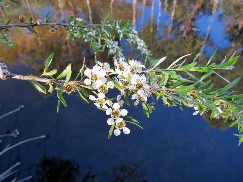 River tea tree (Leptospermum obovatum), Forest Creek, January 2014: ten years of work by Castlemaine Landcare have transformed the creek between the town and Wesley Hill.