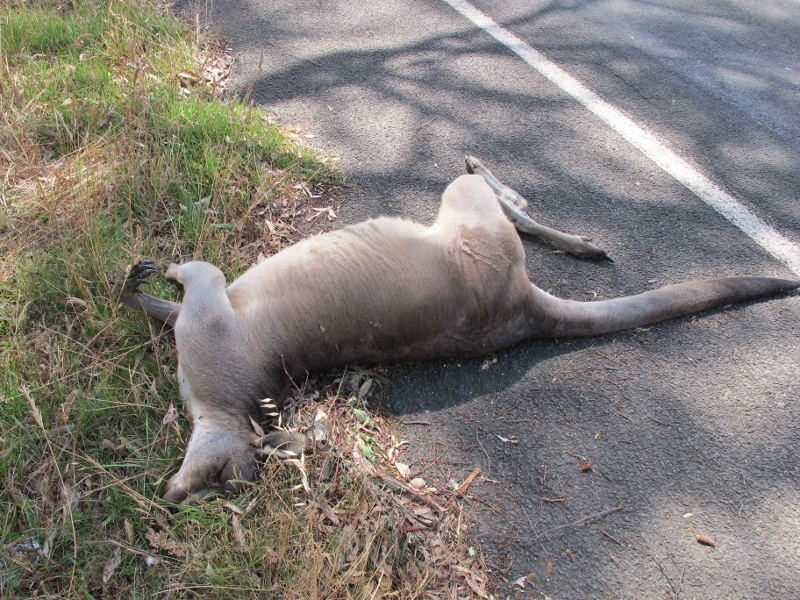 A hundred metres away, January 8: this kangaroo didn't make it. Authorities estimate a 20kph slowdown could reduce collisions by half.