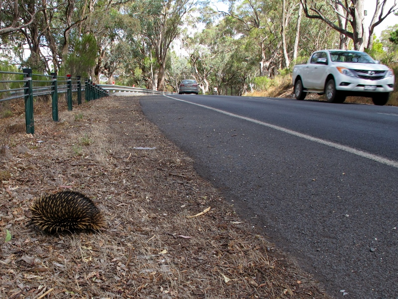 Pyrenees Highway Chewton, January 9: this echidna amazingly made it across the road in heavy traffic.