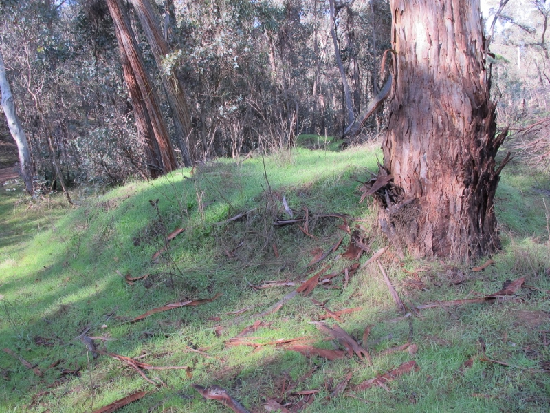 You could pass by and not notice it: but this mound of dirt is a relic of DSE's disastrous 2011 'ecological' burn.