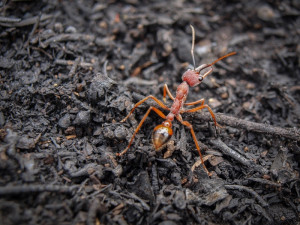 Bullant [genus Myrmecia] exploring a DSE 'control burn' in the Diggings Park, 2010: ants are not only intriguing, they're good for the soil. Photo: John Ellis