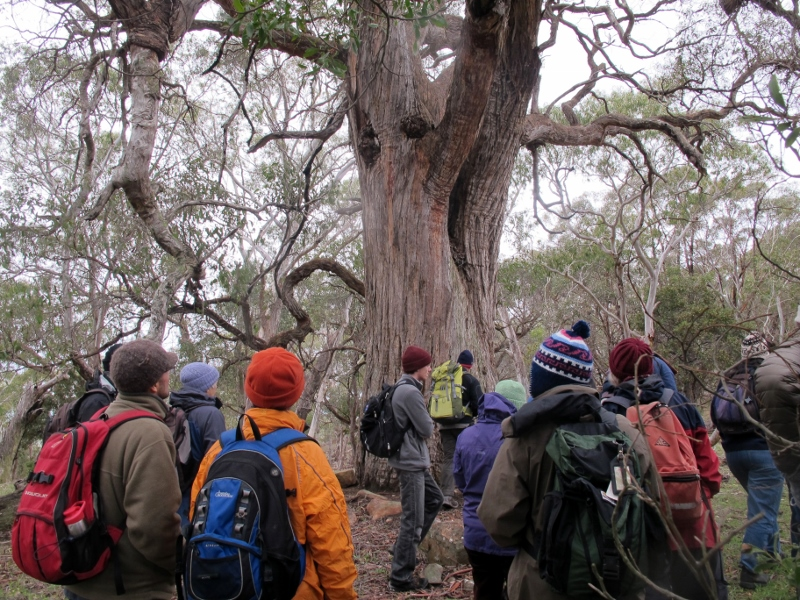 FOBIF walkers passing a giant stringybark on Mount Alexander, August 2013: by 1876 the Mount had been 'denuded' of useful trees.
