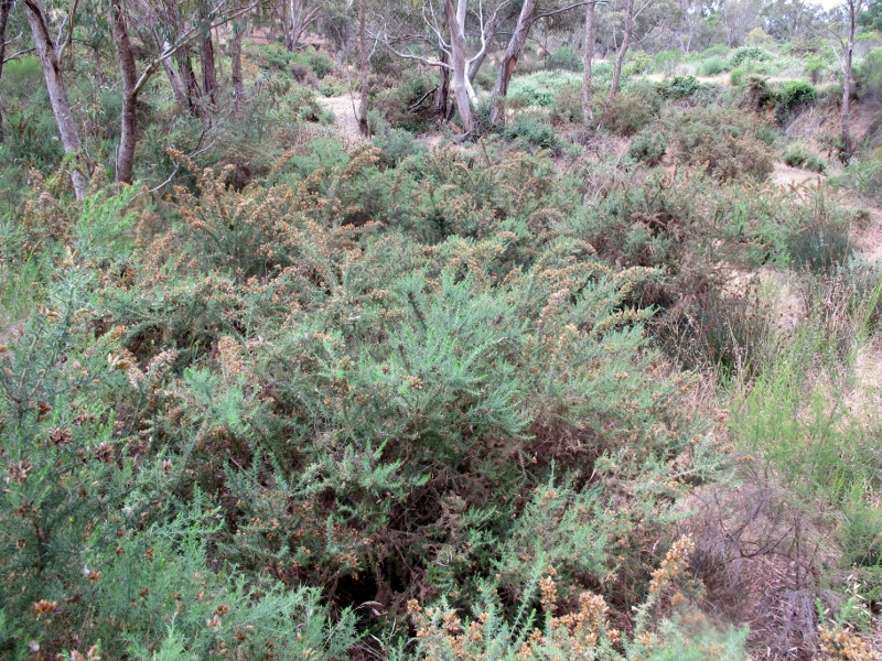 Highly flammable weeds, mainly gorse, on the northern edge of Chewton: FOBIF believes that public safety is best served by careful management of fuel close to settlements, not indiscriminate burning of large areas of remote bushland.