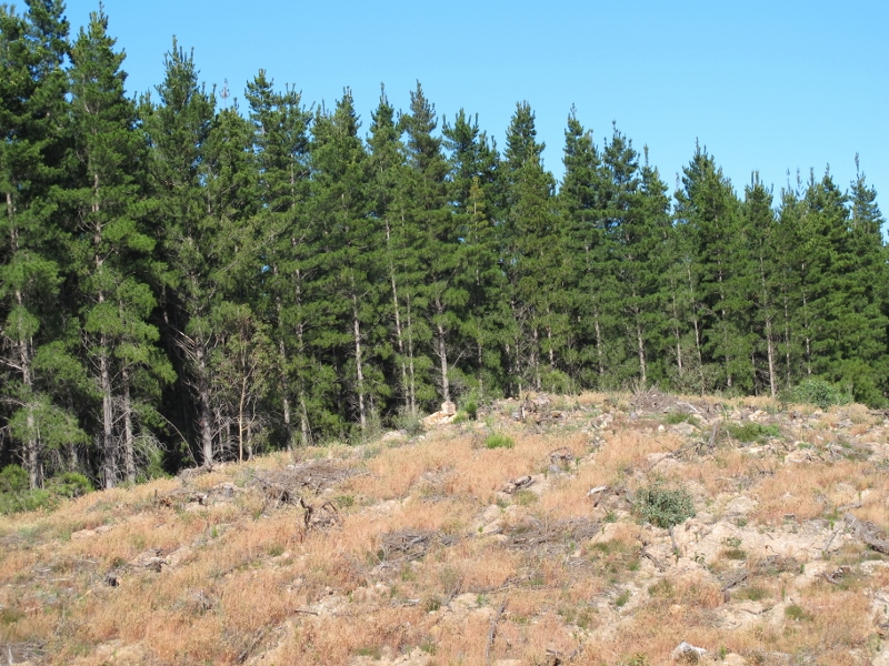 Harvested section of the Moonlight Flat plantation: it is not at all clear how the pines fit into fuel reduction strategies on the adjoining public land.