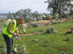Volunteers-learning-to-inject-Wheel-Cactus-weeds-near-Cairn-Curran.