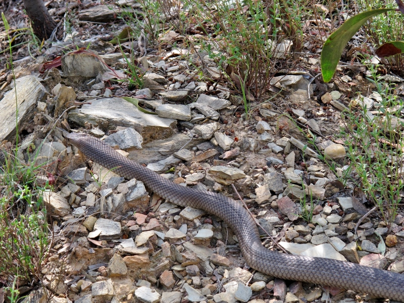 Brown snake crossing the Irishtown Track, October 2014: its taste for rats and mice make it a great pest controller. The best defence against snake bite is common sense: about two Australians per year die from bites, and the majority are people trying to attack or handle the reptile.