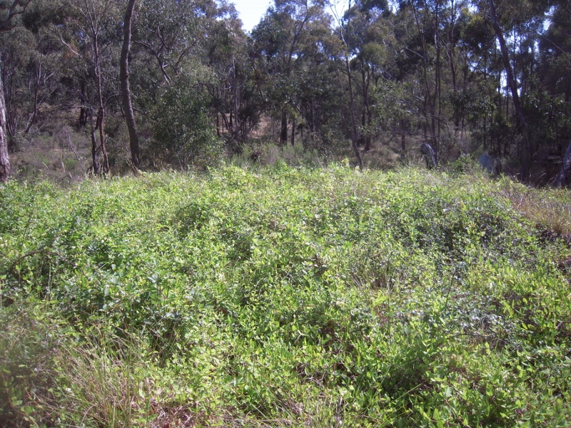 Assorted weeds near Chewton: the nineteenth century enthusiasm to 'improve' Australia has left us with an expensive legacy of feral plants and animals.
