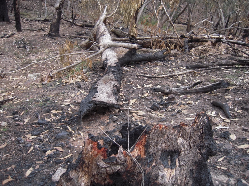 Hollow bearing tree brought down by management fire, Tarilta 2012: research has confirmed that the more severe the fire, the more such trees collapse.