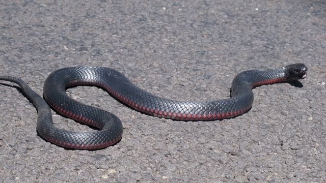 Red bellied black snake at  Barkers Creek. Reptile deaths on our roads are horrific and frequently avoidable.