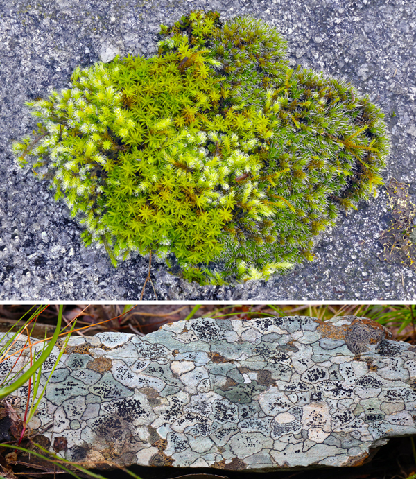 Moss and lichen photos from the 'Nature abstracted' exhibition. The moss species are clearly identifiable, and the lichen photos are spectacularly evocative 'maps'.