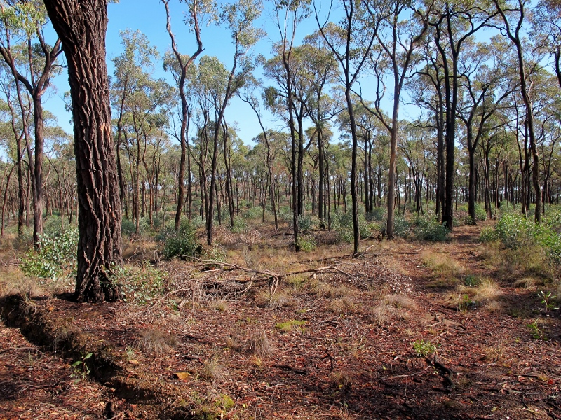 Eucalyptus tricarpa in the Muckleford Forest: a noble and characterful tree, but not an easy one to photograph