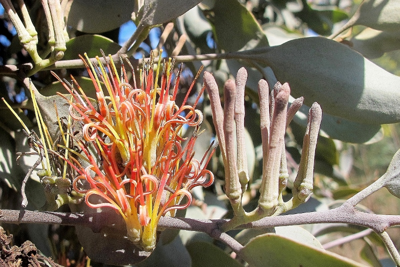 Grey mistletoe [amyema quandang, Barkers Creek, August 2015]: Mistletoes are favoured sources of food for many butterflies, and this particular species has been investigated for the medicinal properties of its leaves.