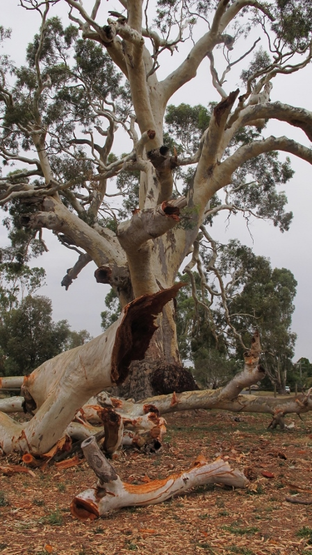 The Big Tree: works will be undertaken to try to forestall further damage to the old feller.