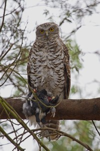 Newstead Powerful Owl with prey photo by Patrick Kavanagh