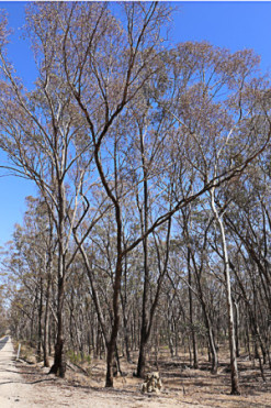 defoliated-trees-along-the-Castlemaine-Muckleford-Road.-IMG_0646