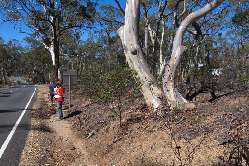 FOBIF is puzzled that some trees high on embankments, like this Yellow Gum, are marked for removal.