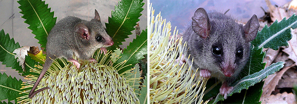 Eastern Pygmy Possum, photos by Renee Ellerton