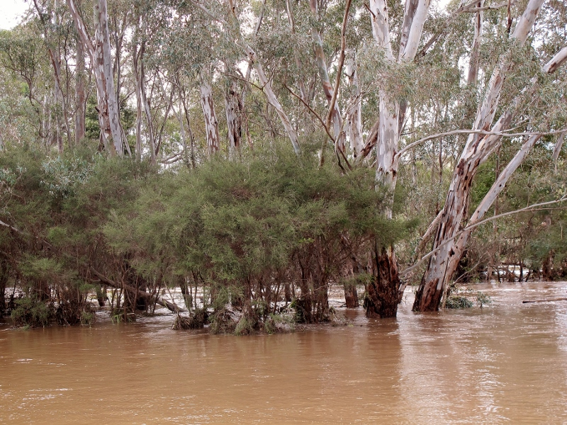 Not quite the Barmah Forest: Forest Creek-Barkers Creek Junction, September 14.