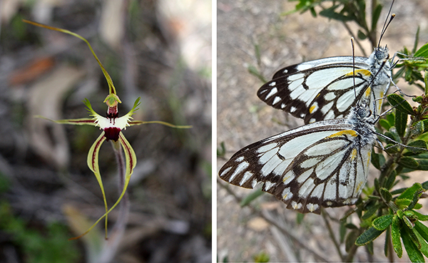 web-2-caladenia-falcata-green-spider-orchid-has-been-known-as-fringed-mantis-orchid-img_5191
