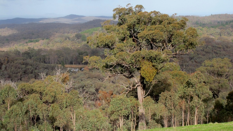 Remnant Red Stringybark towers above surrounding regrowth bush north of Expedition Pass reservoir. The upper slopes of this hill are rich in older trees.